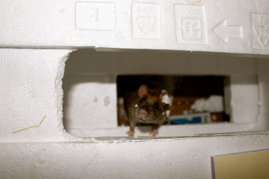 This is what happens when you let rats play with styrofoam