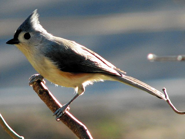 Tufted Titmouse - I love these guys, so cute.